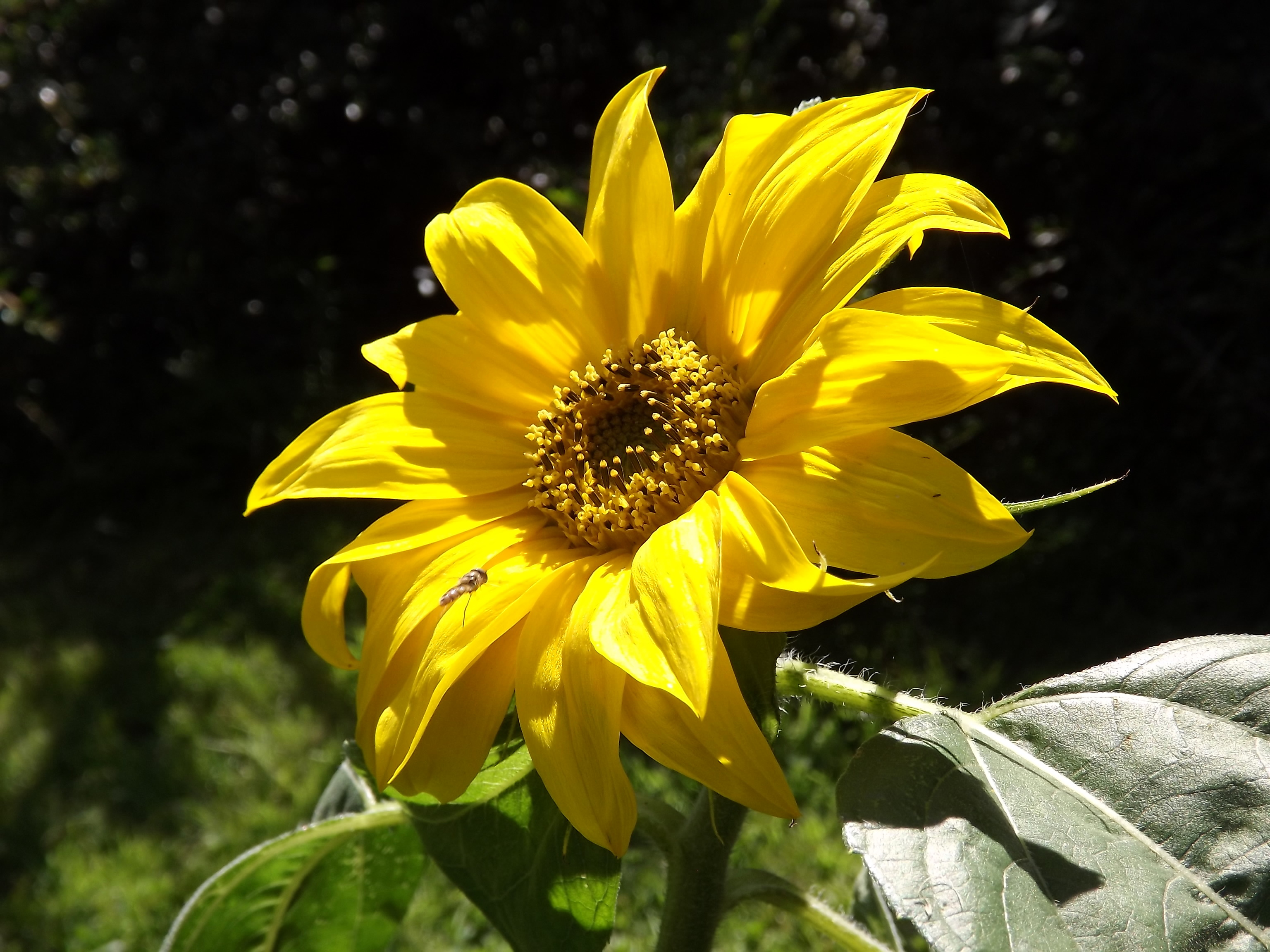 5311-sonnenblume