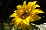 5312-sonnenblume