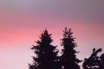 8681-schwarze-tannen-rosa-roter-himmel