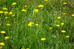 8699-wiese-gelbe-blumen