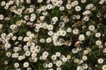9179-viele-gaensebluemchen-wiese