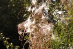 5479-blumen-pollen-wie-watte