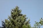 5487-tanne-blauer-himmel