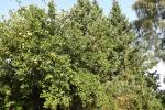 5490-apfelbaum-mit-aepfeln