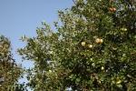 5491-apfelbaum-mit-aepfeln