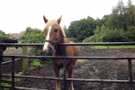 pferd-braun-weiss