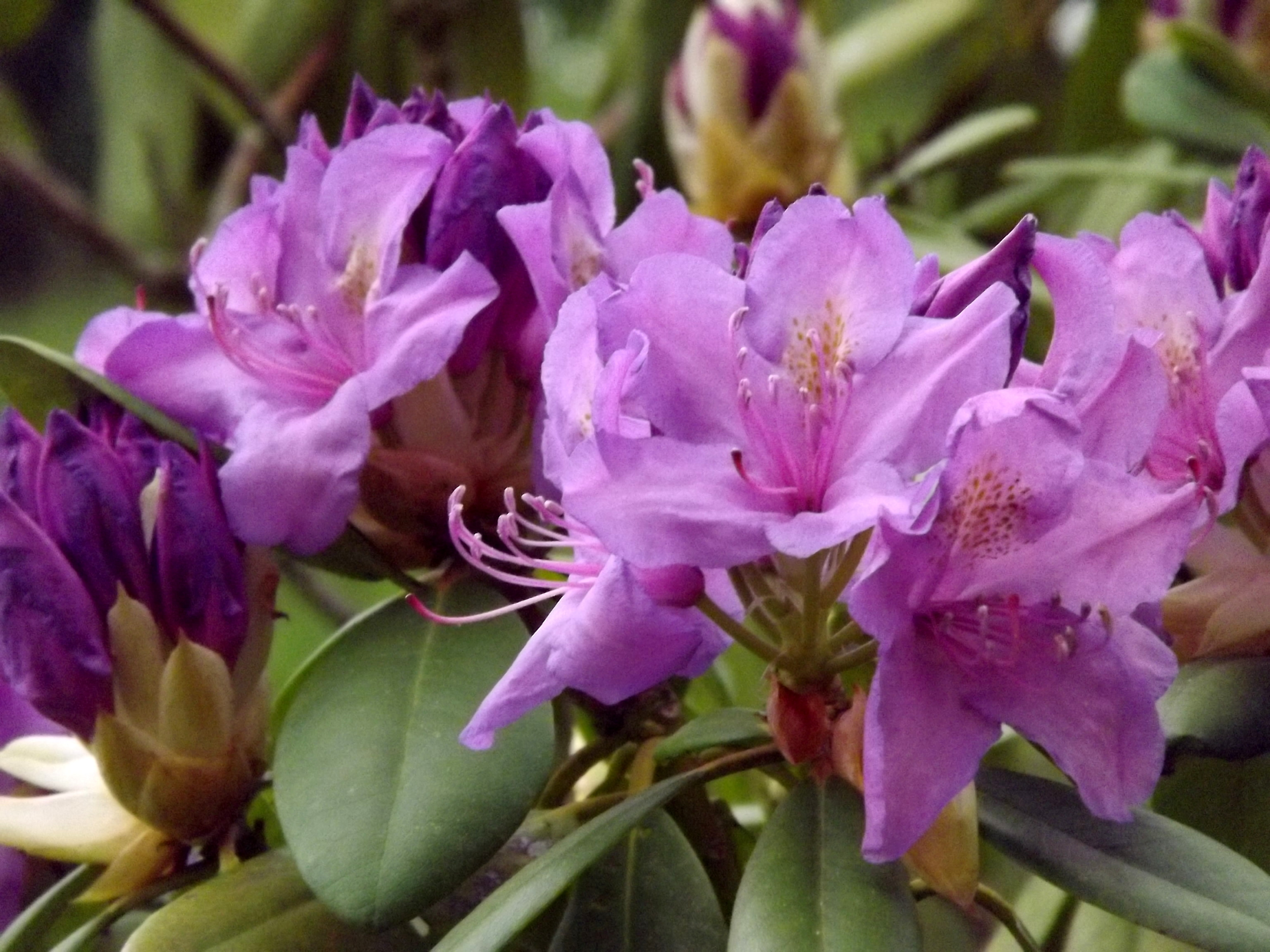 5213-rhododendron