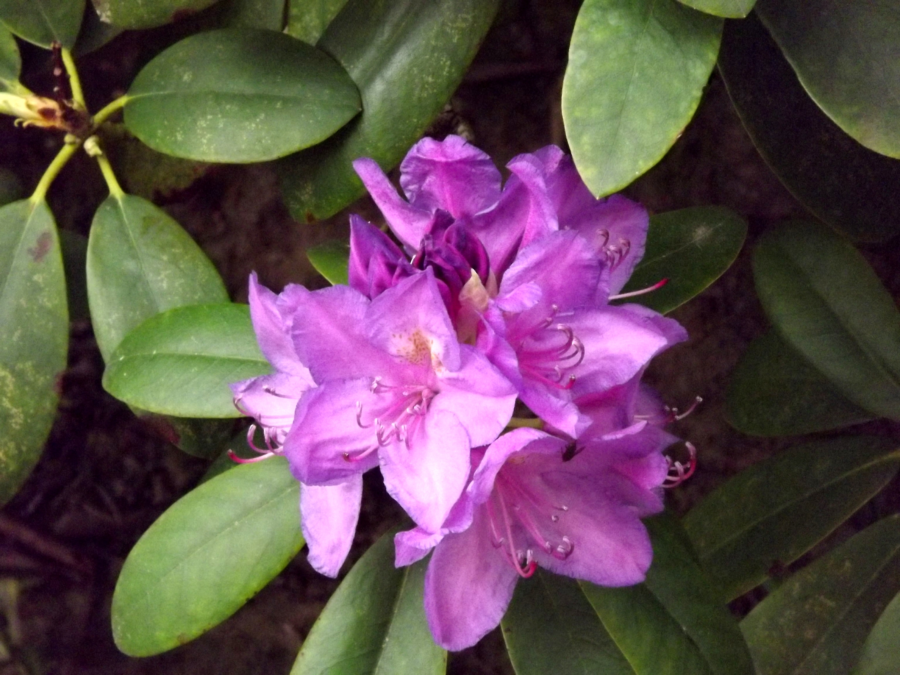 5214-rhododendron