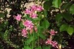 5187-rosa-blueten