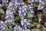 5210-bluehender-bodendecker
