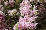 5233-rosa-blueten