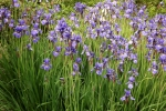5237-iris