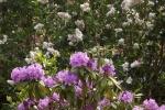 5250-rhododendron-bluete
