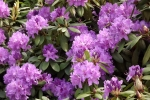 5251-rhododendron-bluete