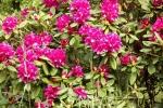 5252-rhododendron-bluete