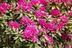 5253-rhododendron-bluete