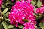5254-rhododendron-bluete