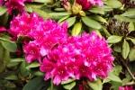 5255-rhododendron-bluete
