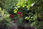 5262-rose