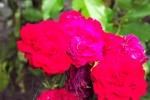 5264-rose