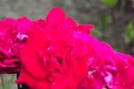 5267-rose