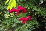 5270-rose
