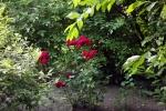 5271-rose