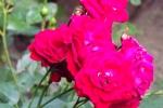 5273-rose