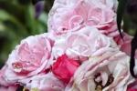 5285-rose-blueten