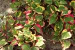 5352-himalaya-pflanze