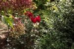 5371-hollunderbeeren-rosen