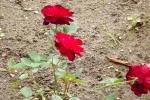 5384-rosen