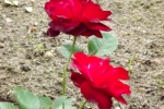 5385-rose