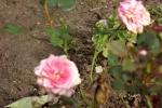 5391-rose