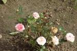 5392-rose