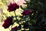 5441-rose