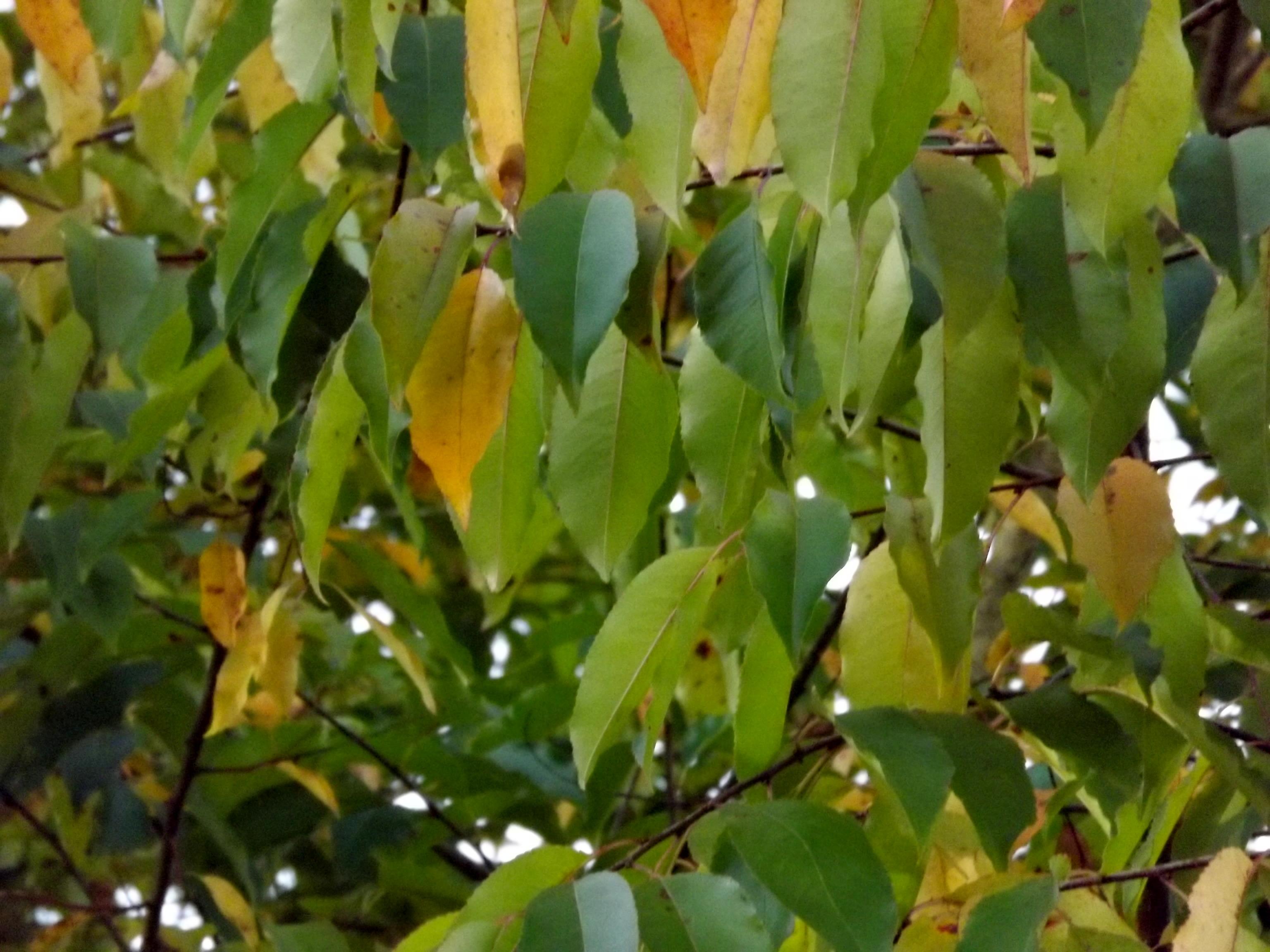 6546-traubenkirsche-gelb-gruen