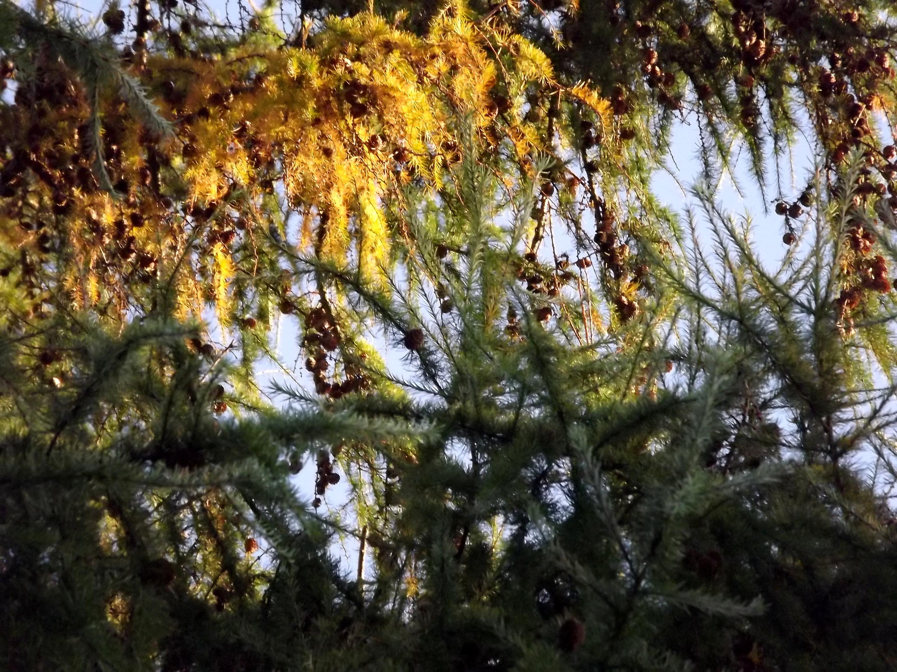 6568-herbst-nadelzweige-sonnenlicht