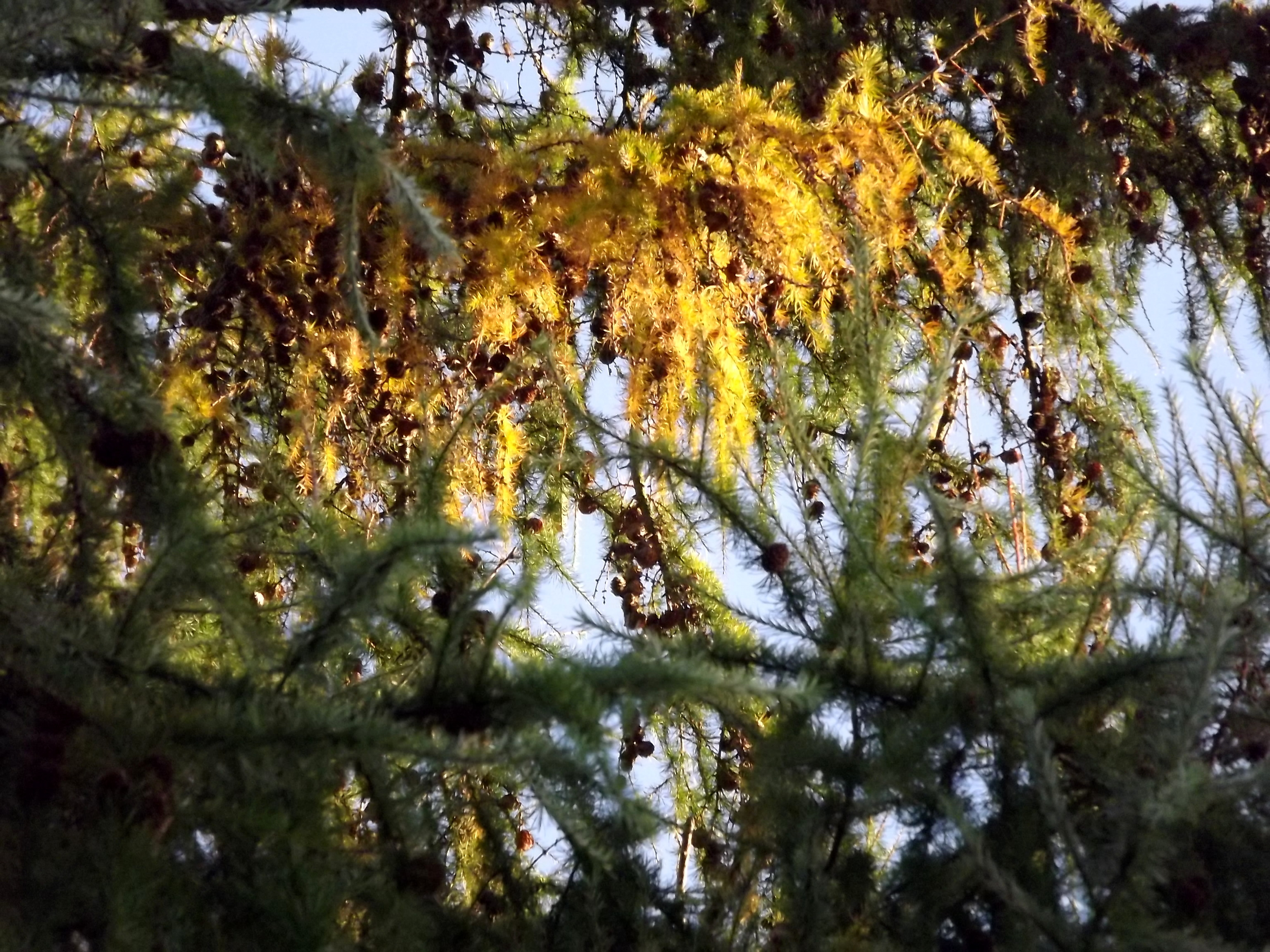6569-herbst-nadelzweige-sonnenlicht