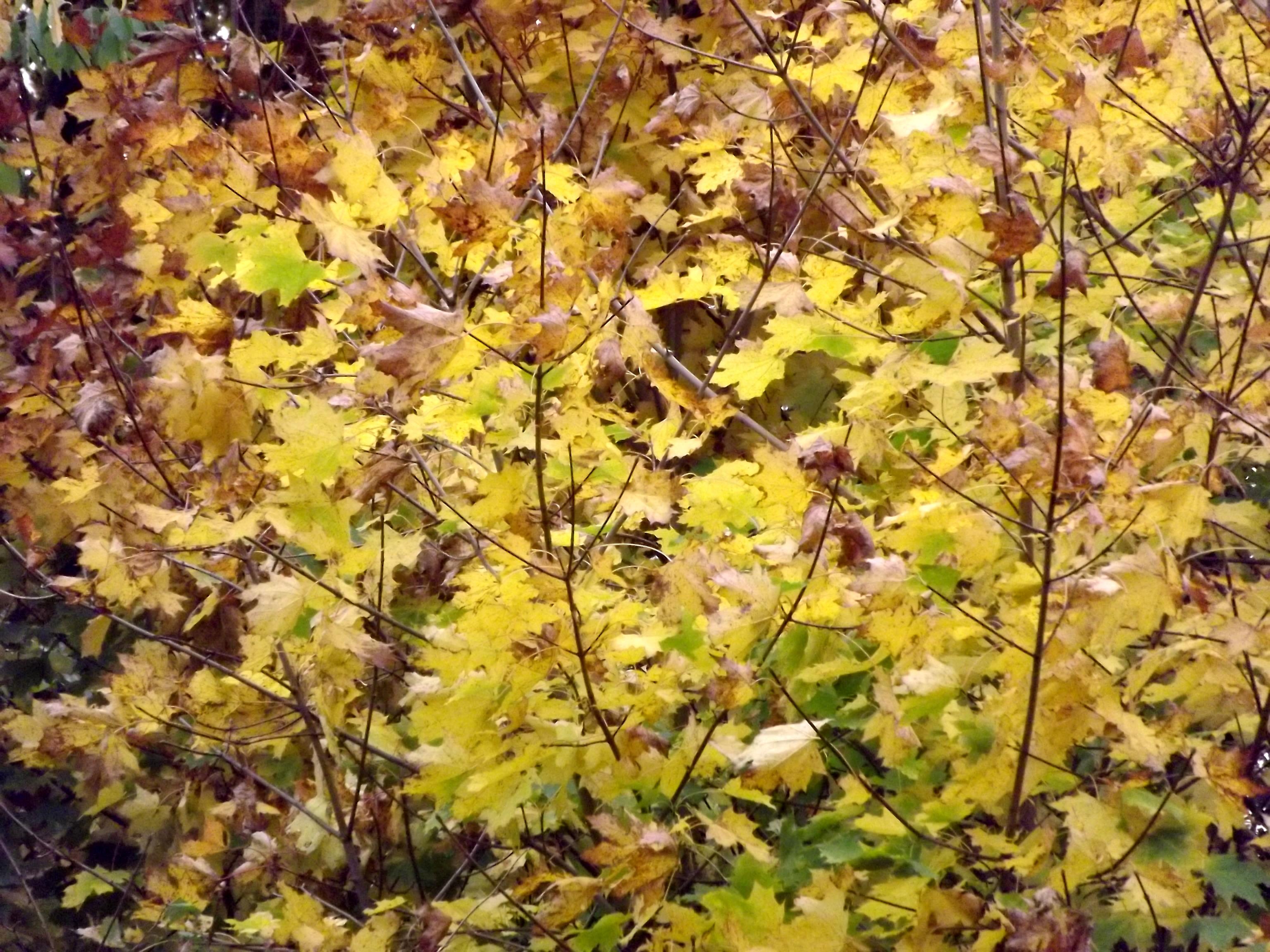 6573-ahorn-gelb-braun