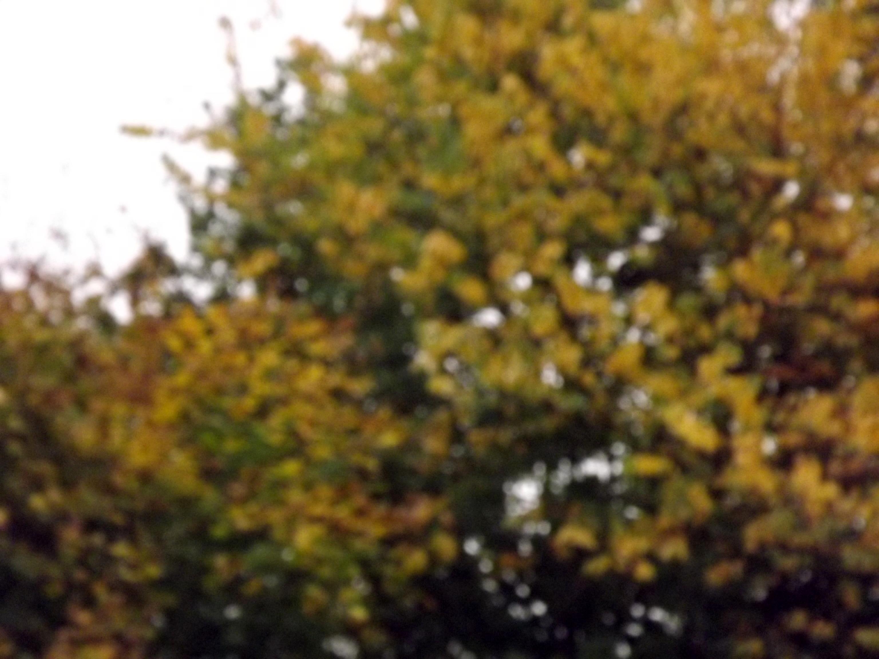 6574-ahorn-herbst-unscharf