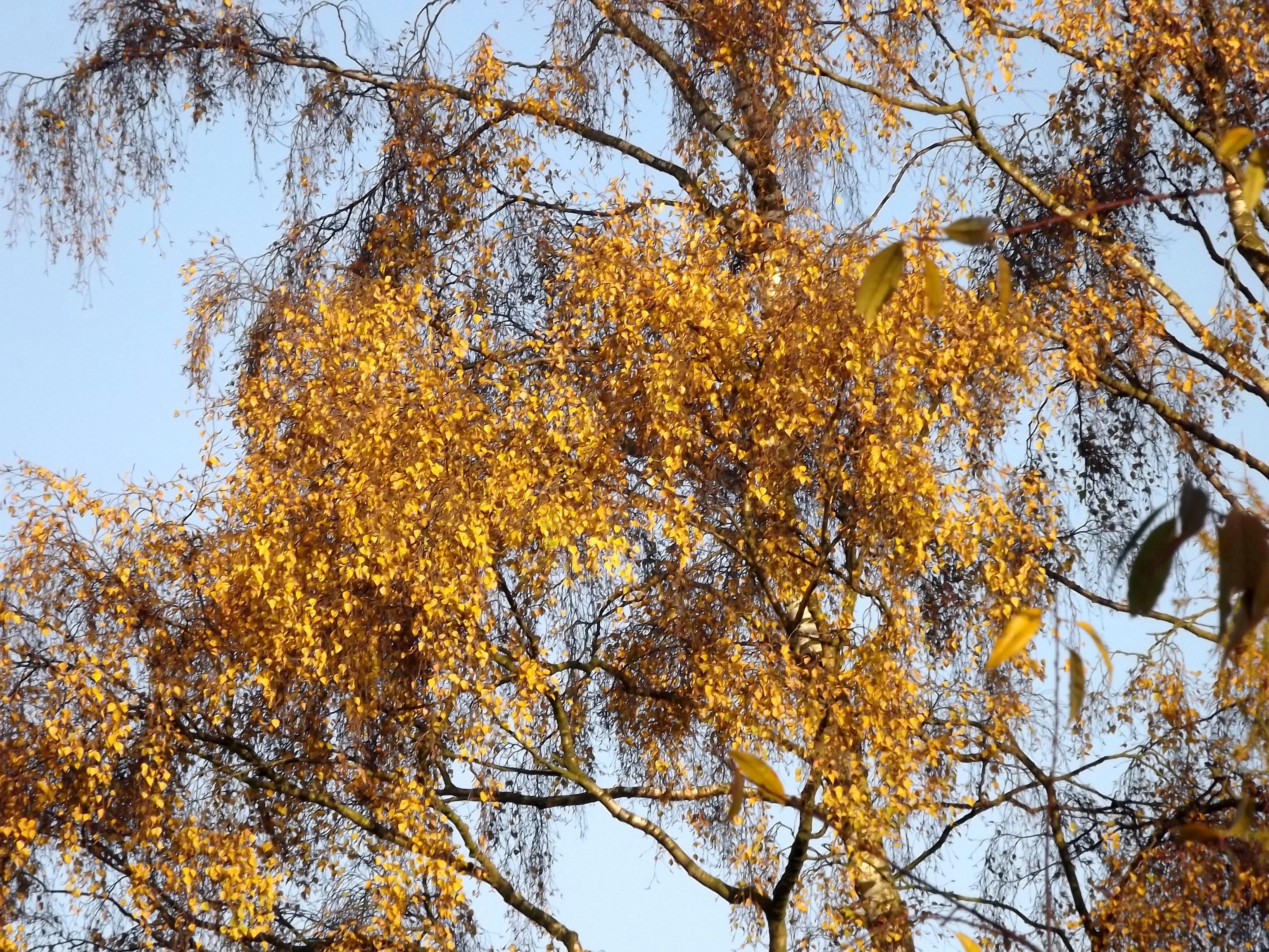 6598-birke-gold-gelb