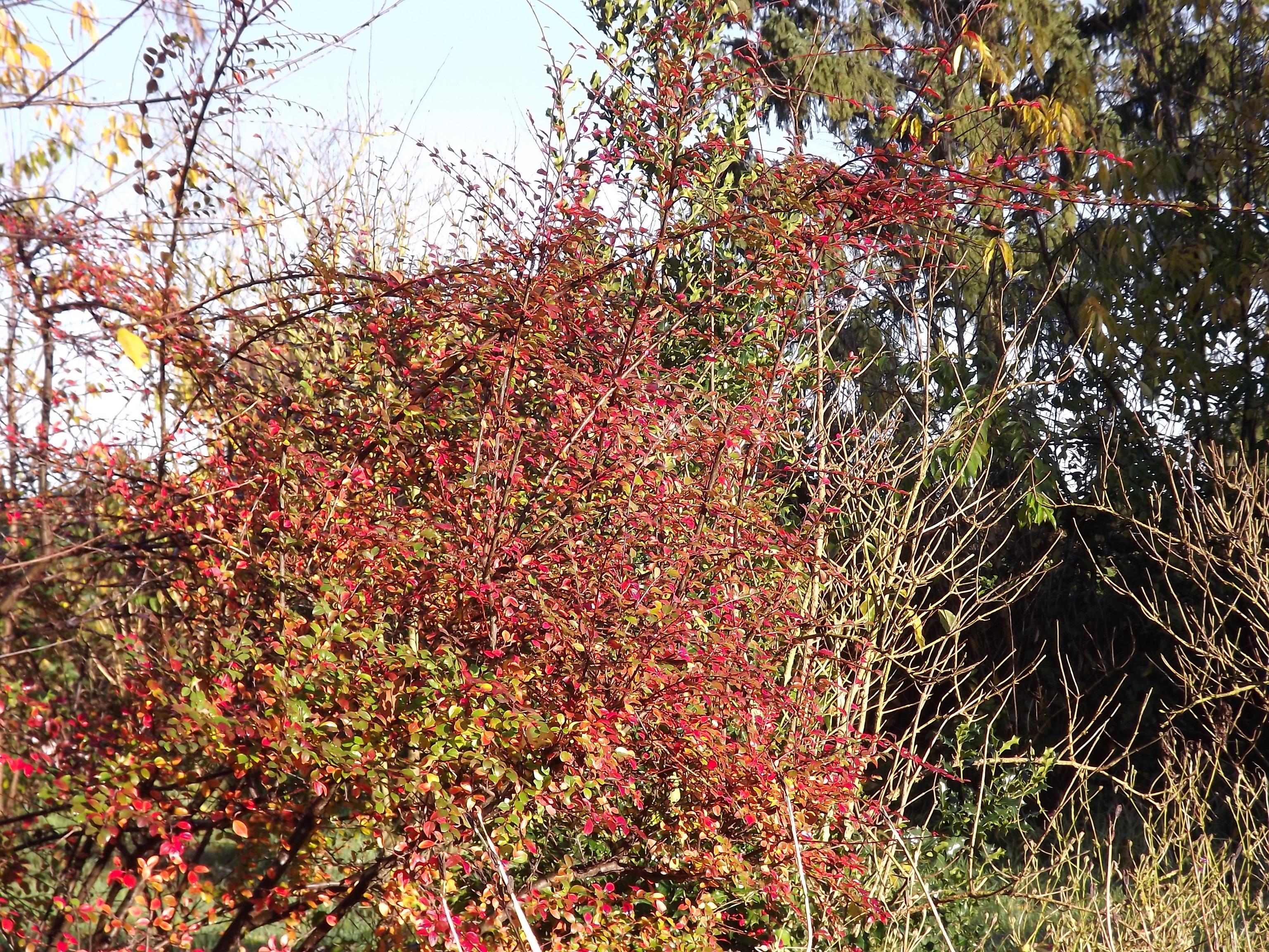 6618-gebuesch-rot-gruen