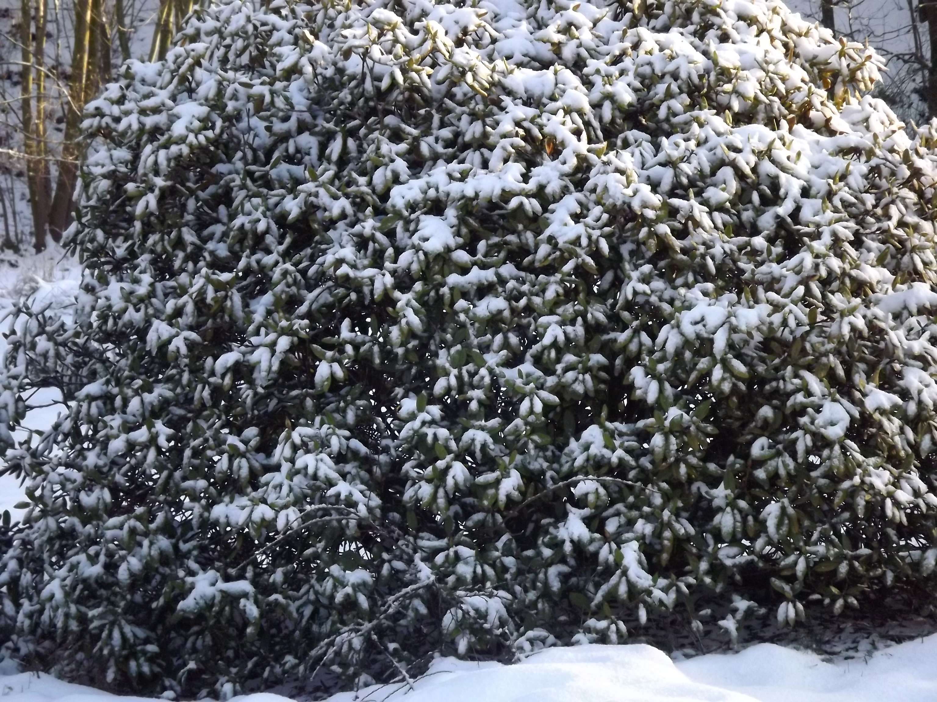 5736-verschneiter-rhododendron