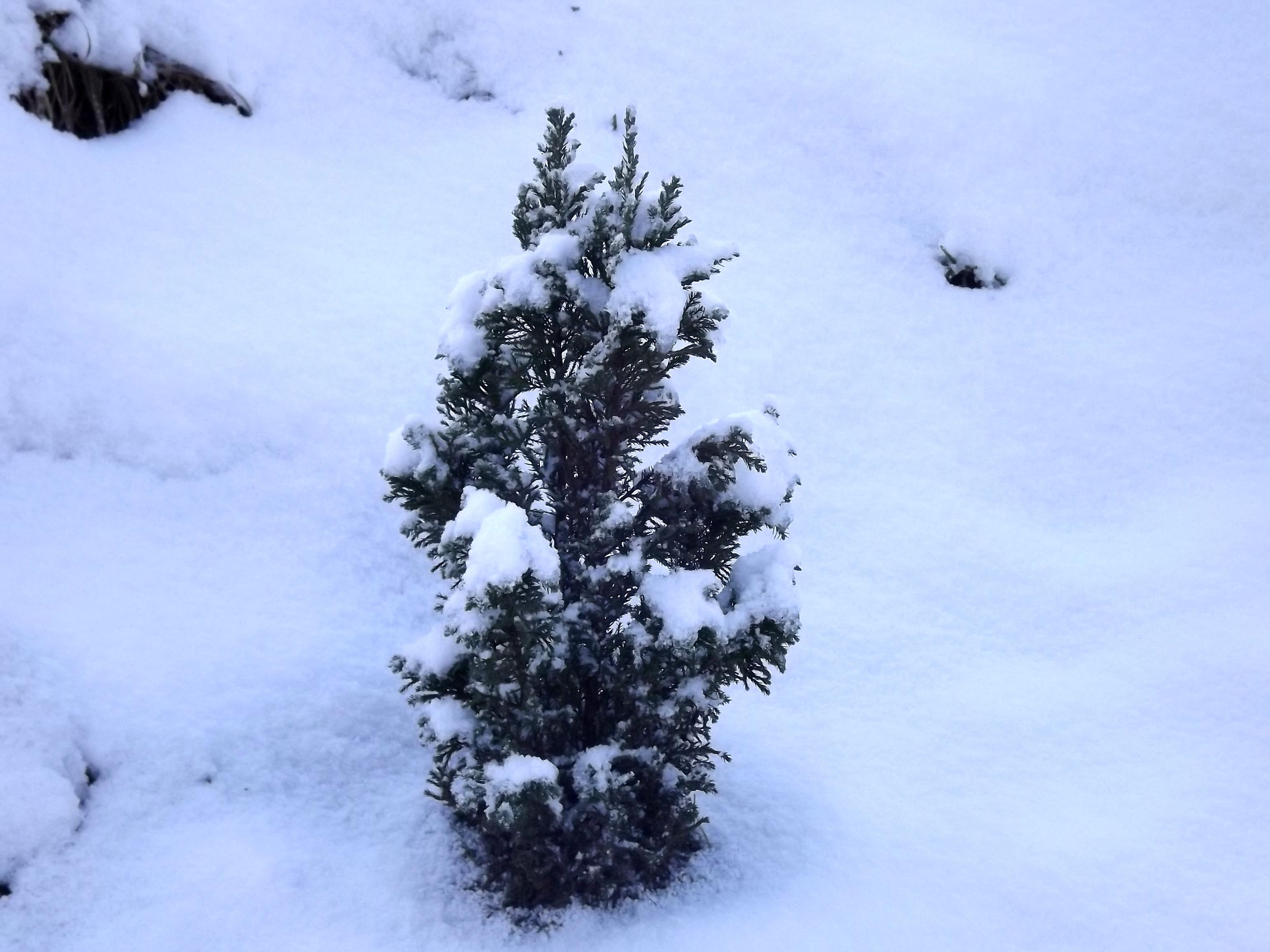 5785-verschneite-konifere