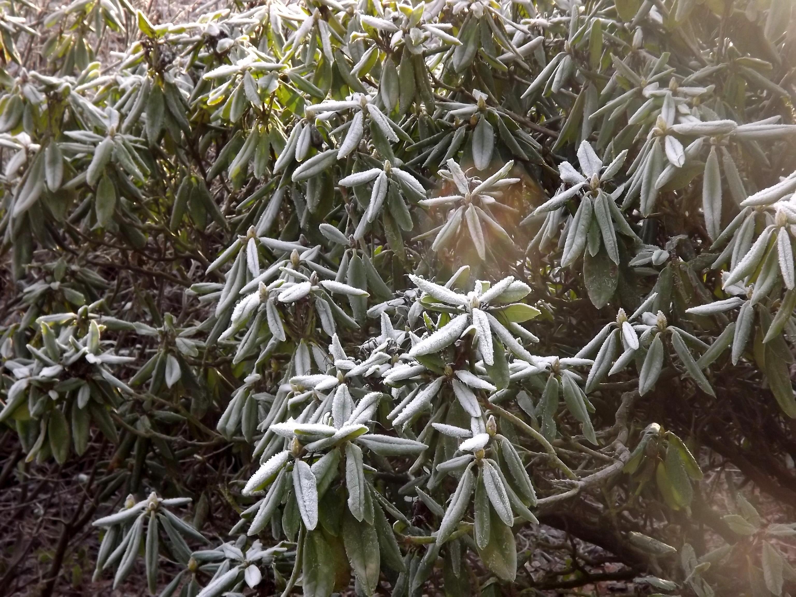8381-vereiste-rhododenron-blaetter