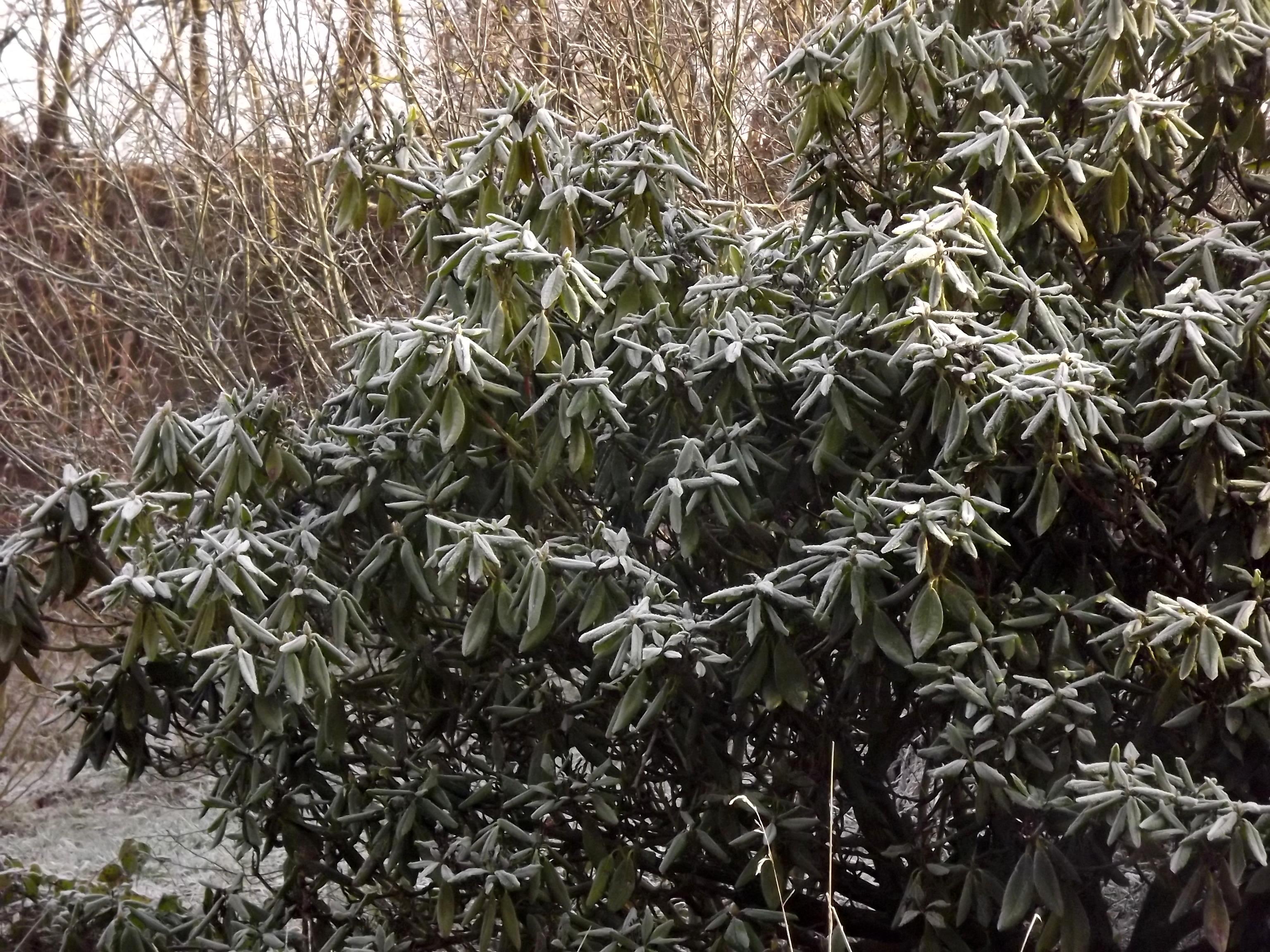 8389-rhododendron-vereist