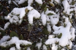 5799-verschneite-rhododendren-blaetter