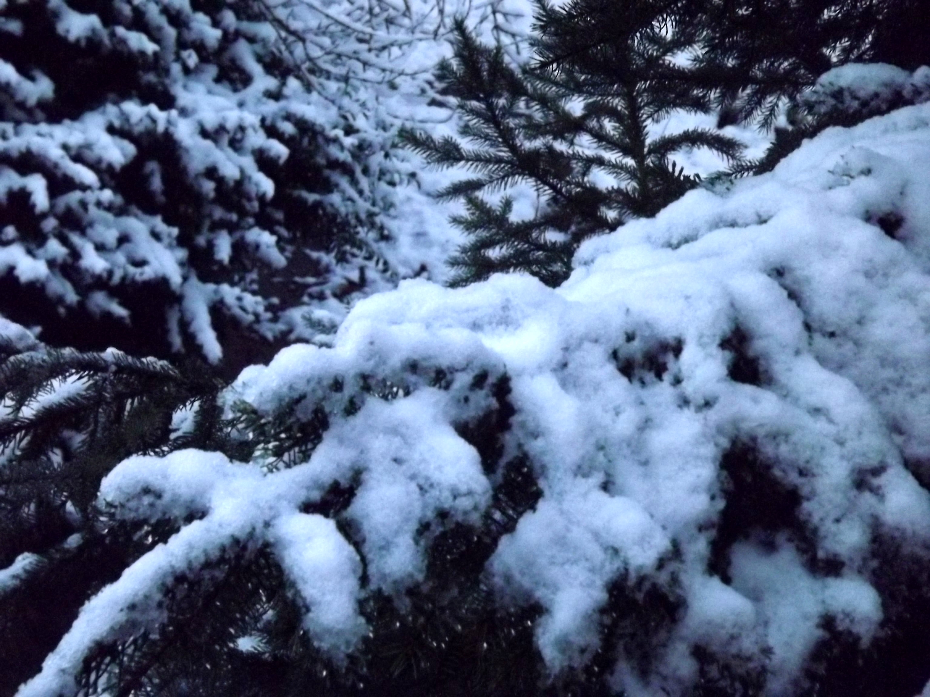 6868-schnee-tanne-verschneit