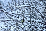 6873-verschneites-gebuesch-meise